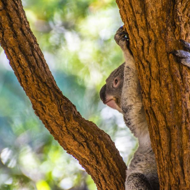 """Koala morning"" stock image"