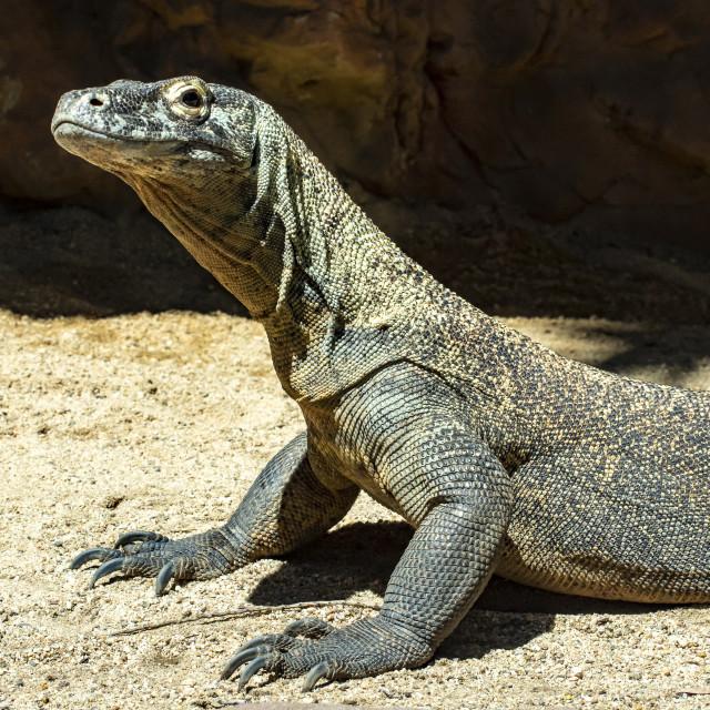 """Komodo Dragon"" stock image"