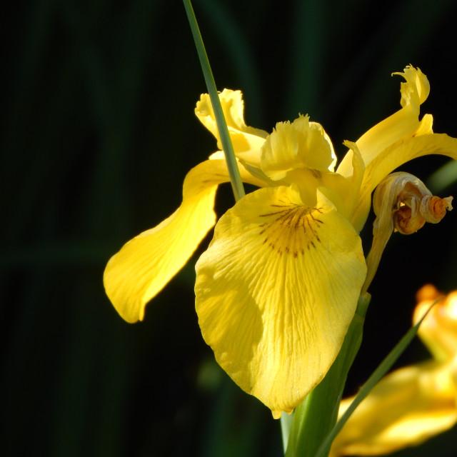 """Yellow Iris Silhouette"" stock image"