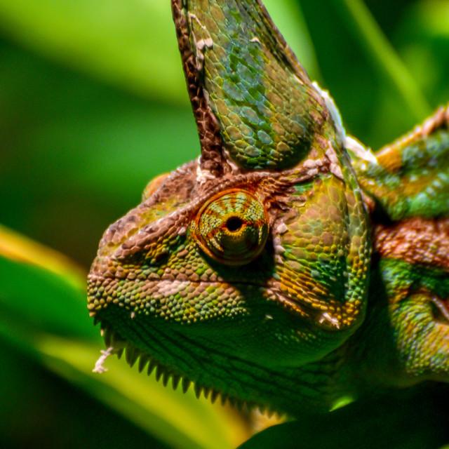 """Chameleon close-up"" stock image"