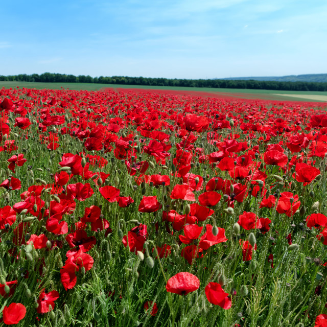 """Poppy fields"" stock image"