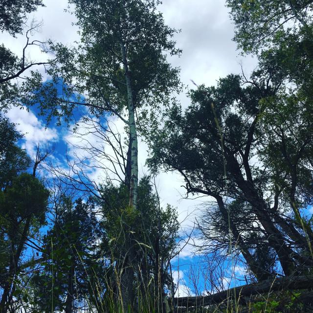 """towering cottonwoods"" stock image"
