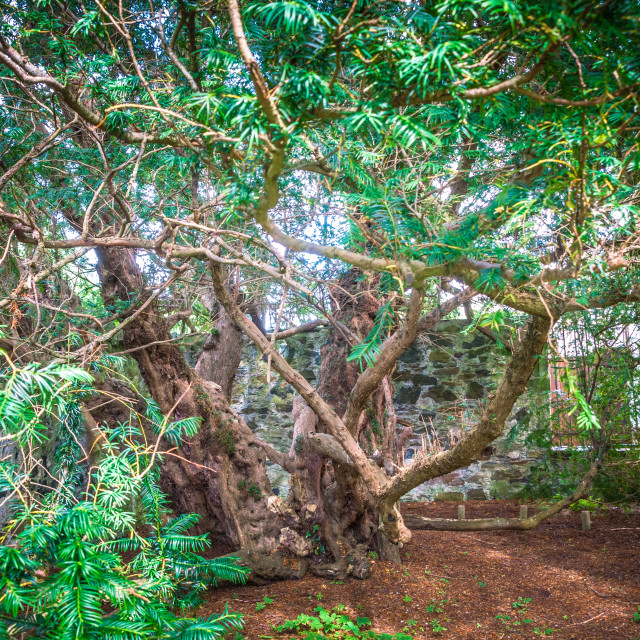 """""""The Fortingall Yew"""" stock image"""