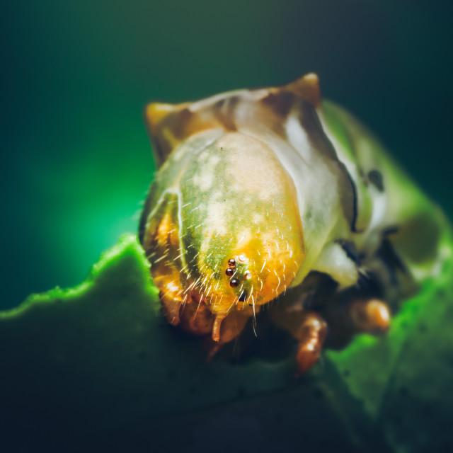 """""""Closeup of a Lime Swallowtail Caterpillar"""" stock image"""