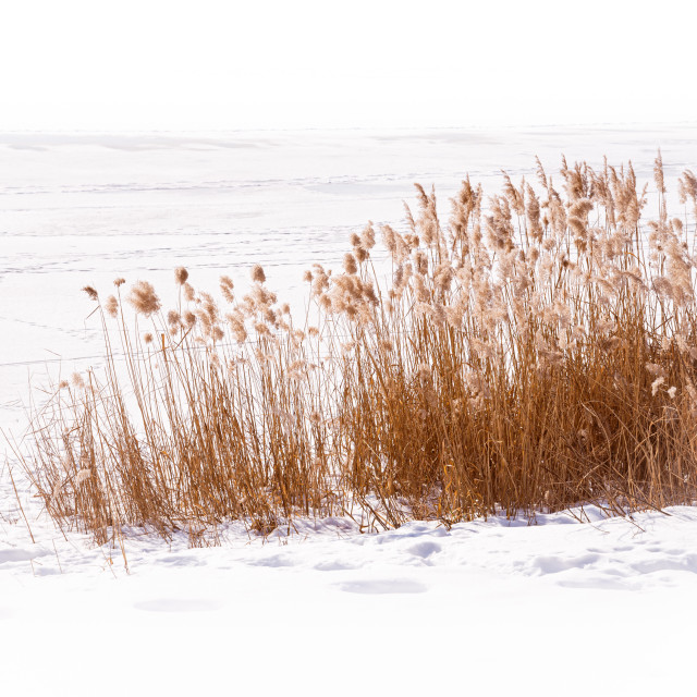 """""""Dry Typha Latifolia Flowers, also called Cattails"""" stock image"""