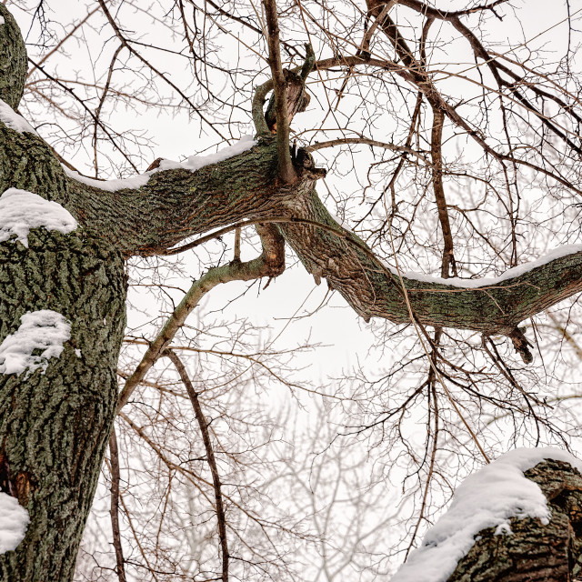 """""""Mulberry tree with snow in winter"""" stock image"""