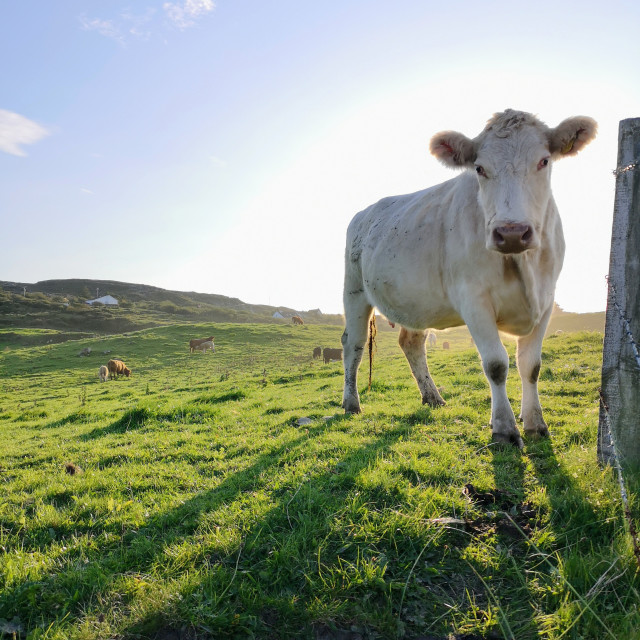 """""""Curious cow"""" stock image"""