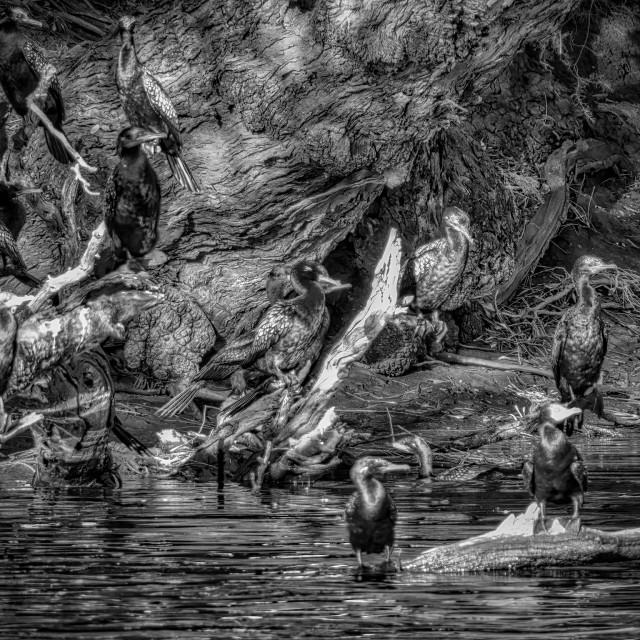 """Cormorants on Swan"" stock image"