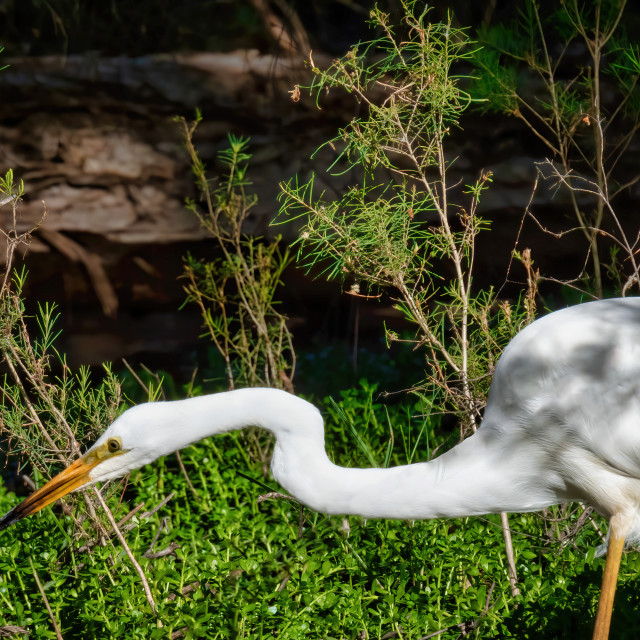 """Egret Hunting"" stock image"