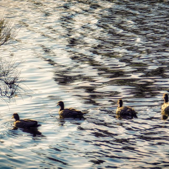 """Ducks in Dazzling Ripples"" stock image"