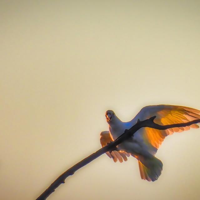 """Illuminated Corella"" stock image"