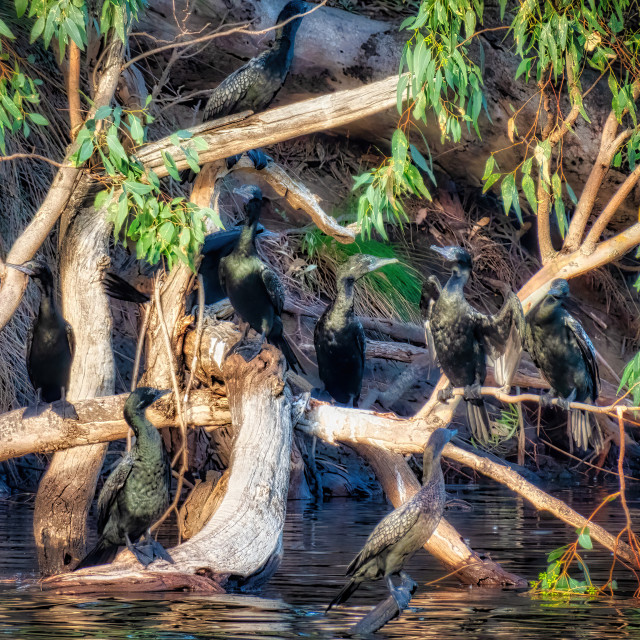 """""""Cormorants Roosting on the Swan"""" stock image"""