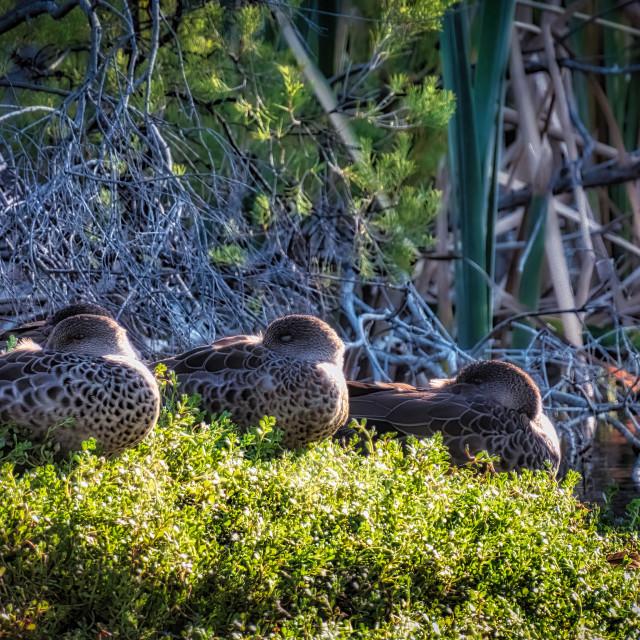 """""""Black Ducks Roosting in Wetland"""" stock image"""