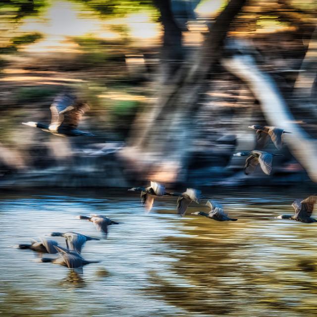 """Cormorants in Flight"" stock image"
