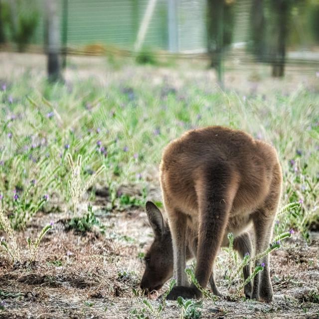 """Kangaroo Grazing"" stock image"