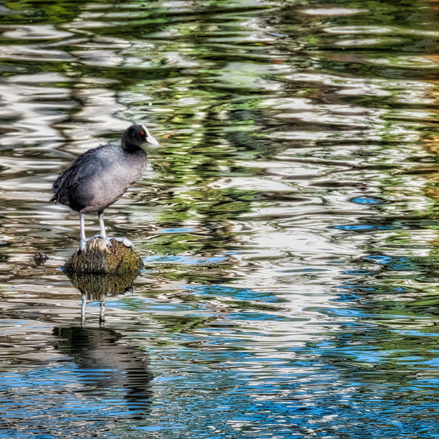 """""""Coot on Rock"""" stock image"""
