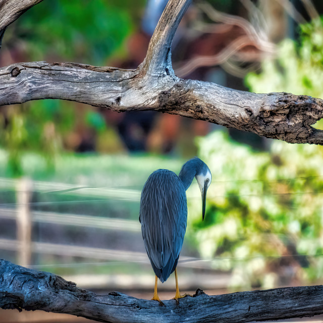 """""""White-faced Heron Roosting"""" stock image"""