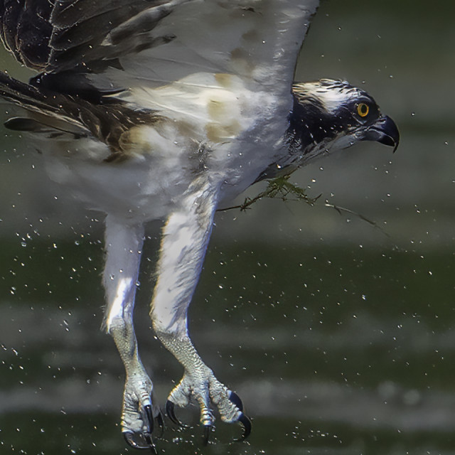 """""""Osprey emerging from the water"""" stock image"""
