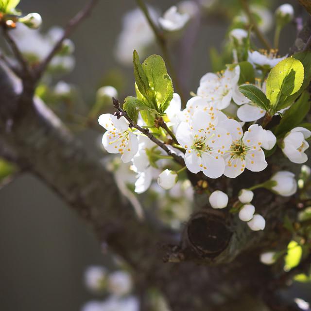 """""""Cherry Tree"""" stock image"""