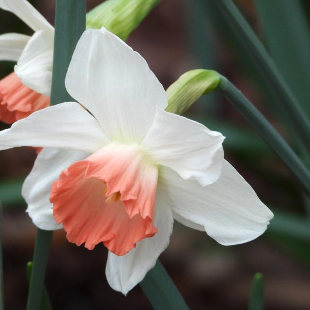 """Daffodil with Light Salmon closeup"" stock image"