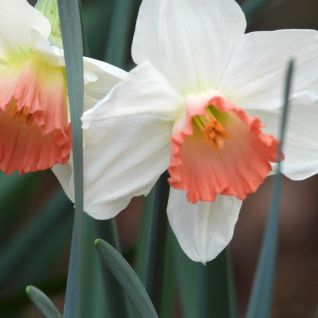 """Unique daffodils with Salmon-Colored Center"" stock image"
