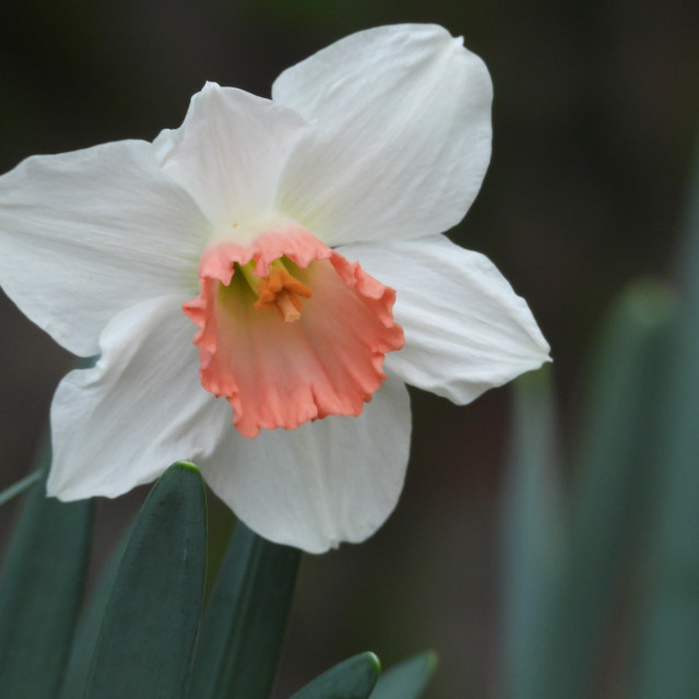 """Single Salmon-Colored Daffodil"" stock image"