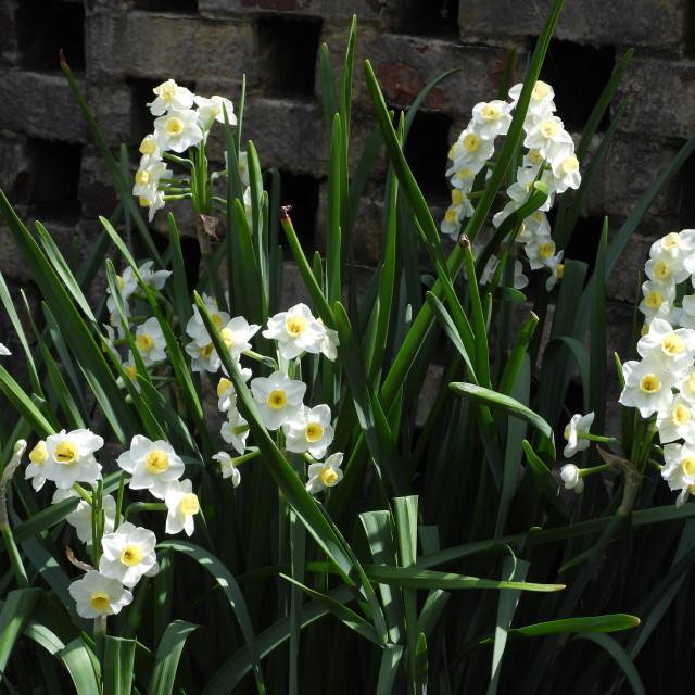 """Garden of Cream Narcissus"" stock image"