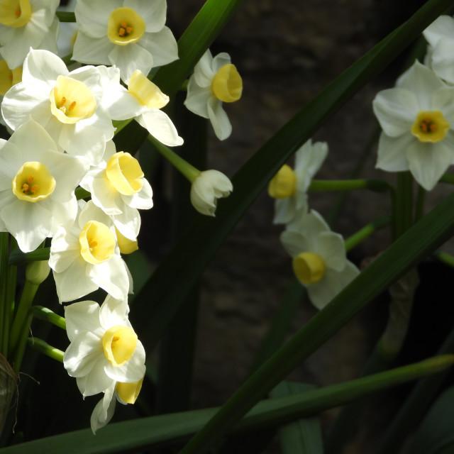 """""""Cream Narcissus Closeup"""" stock image"""