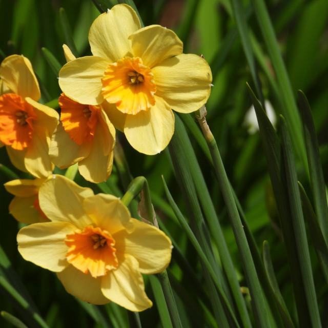 """Narcissus 'Altruist' Flower"" stock image"