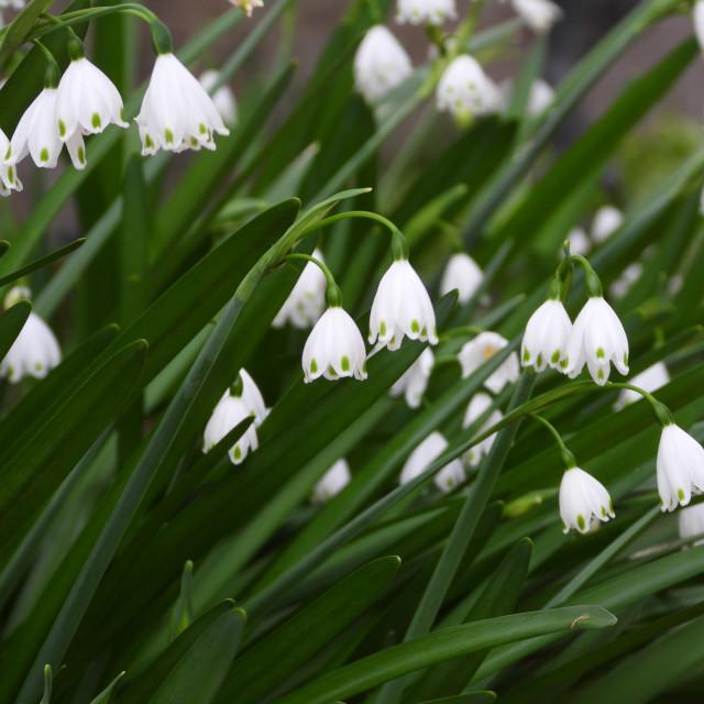 """Summer Snowflake Flower"" stock image"