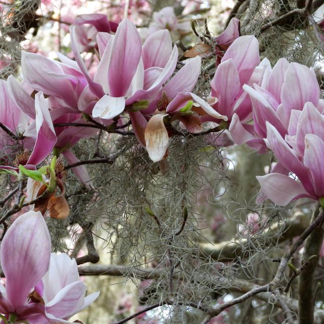 """Lily Magnolia among Tree Moss"" stock image"