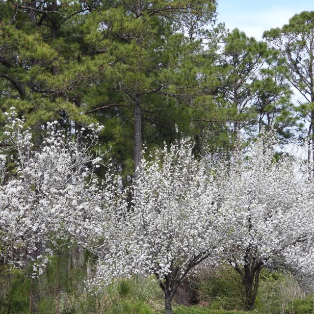 """Flowering Pear Trees"" stock image"