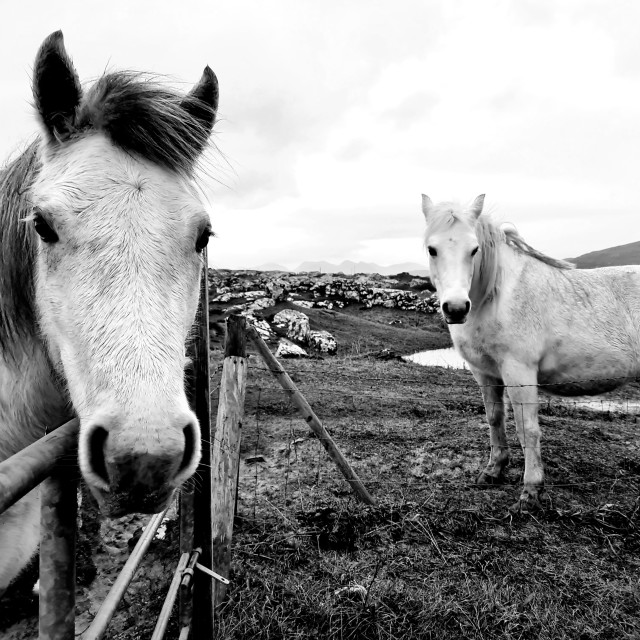 """Connemara ponies"" stock image"