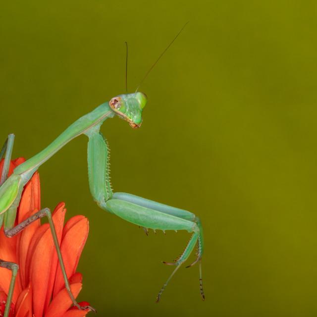 """""""Giant Indian Praying Mantis on Flower"""" stock image"""