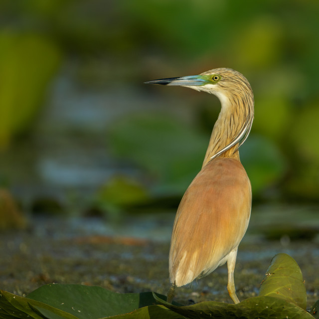 """Squacco Heron on a lily pad"" stock image"