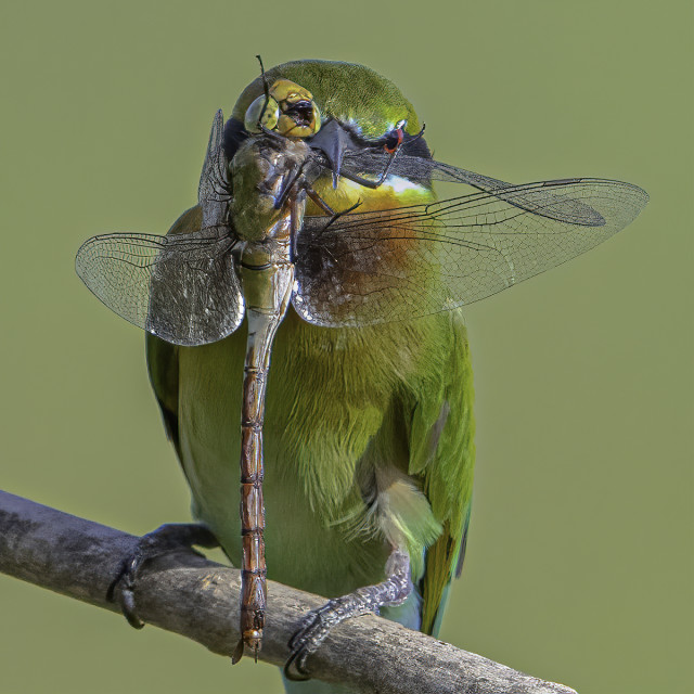 """""""Bee eater with a big dragonfly"""" stock image"""