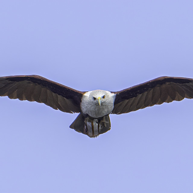 """""""Brahminy kite flying back with a copperband butterfly fish"""" stock image"""