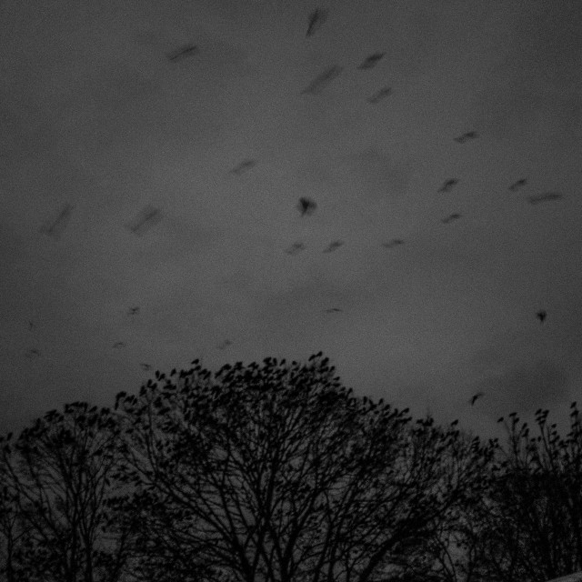 """""""Crows"""" stock image"""