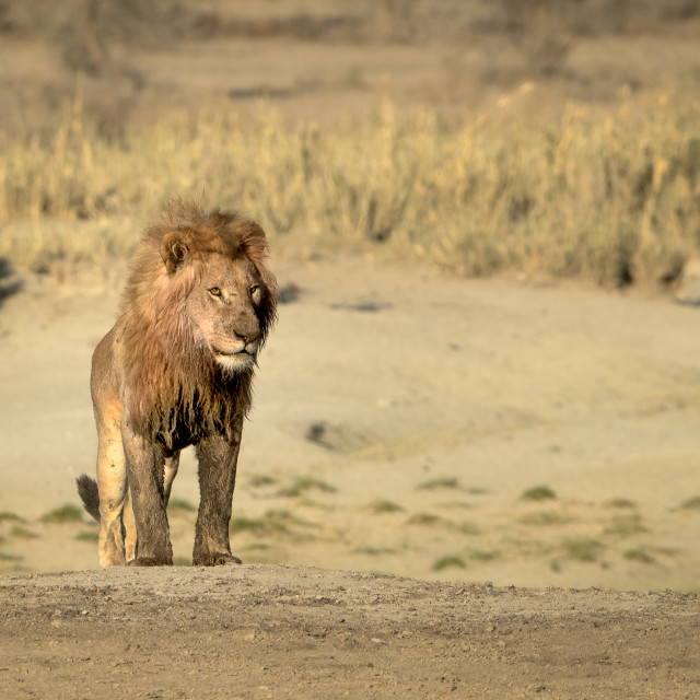 """Male Lion standing on dry lake bed"" stock image"