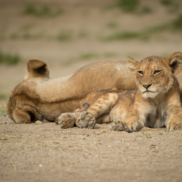 """YOUNG LION SITTING BY SLEEPING LIONESS"" stock image"