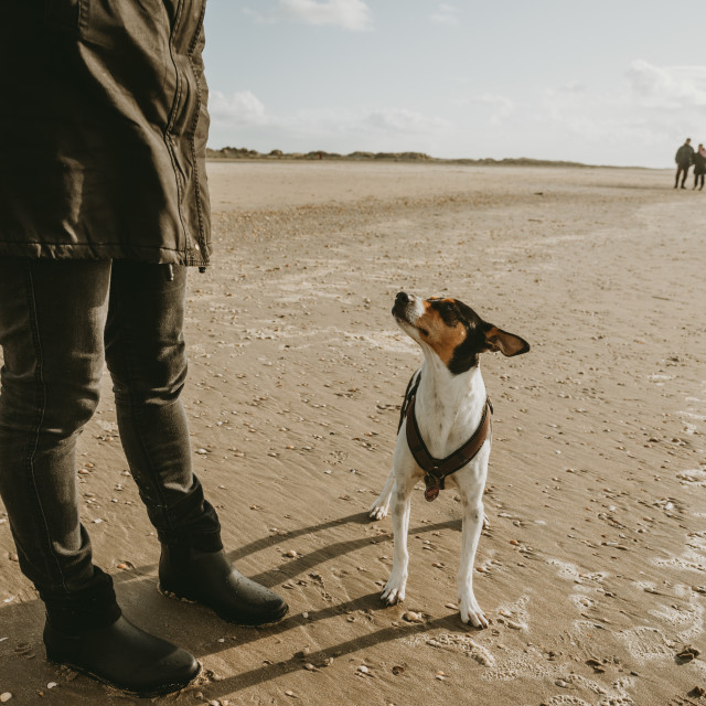 """The curious jack russell terrier on the beach"" stock image"