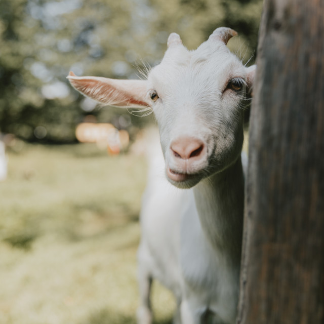 """Funny looking, curious young white horned chewing goat"" stock image"