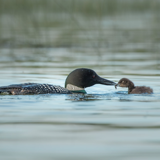 """COMMON LOON (GREAT NORTHERN DIVER) FEEDING YOUNG"" stock image"