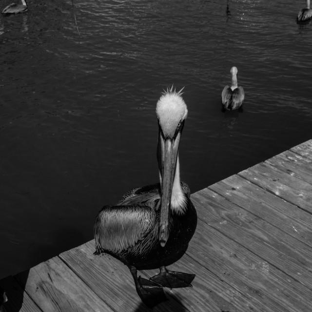 """""""Pelican on Isla Morada (3)"""" stock image"""