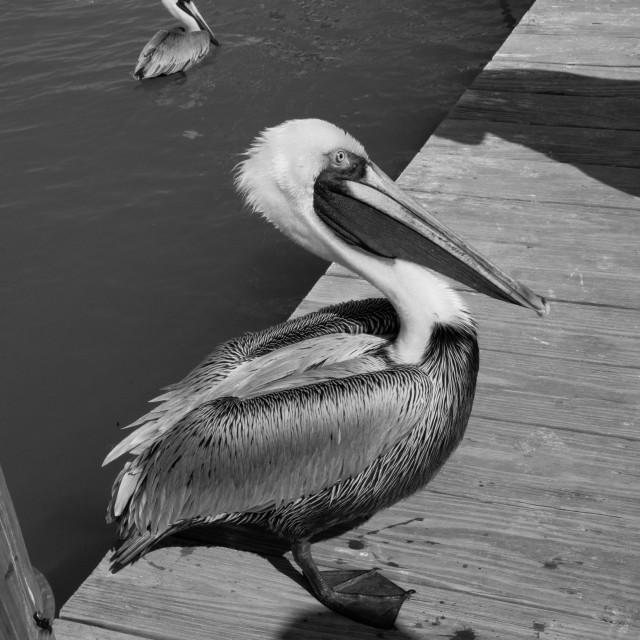 """""""Pelican on Isla Morada (2)"""" stock image"""