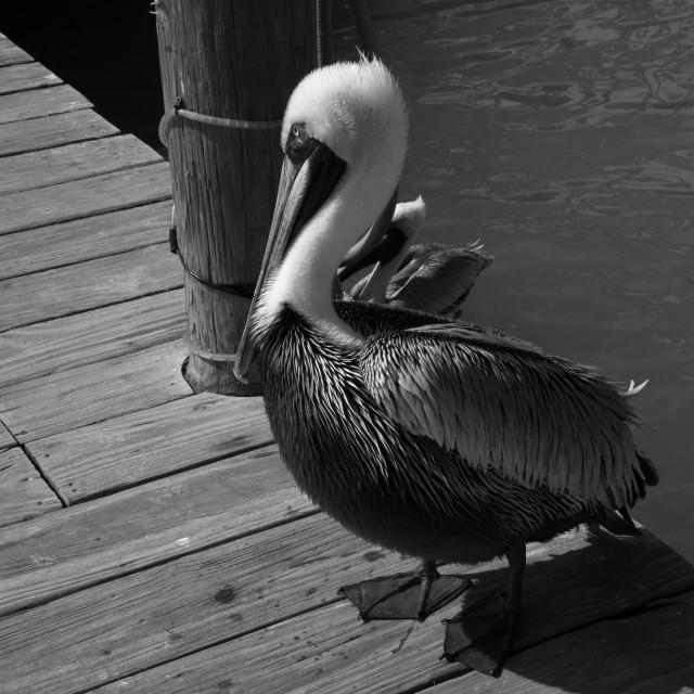 """""""Pelican on Isla Morada (1)"""" stock image"""