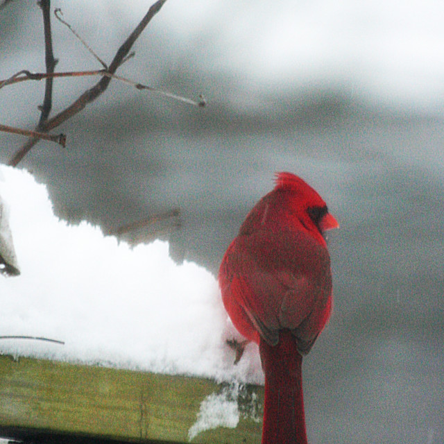 """red cardinal and snow"" stock image"