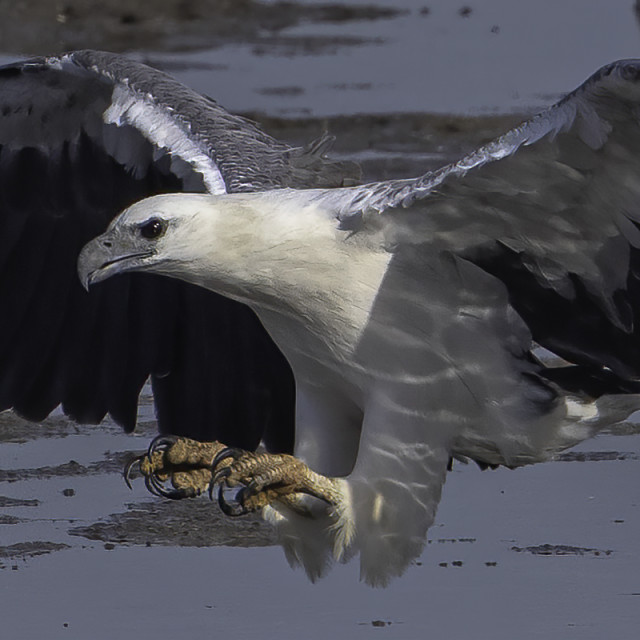 """""""White bellied sea eagle on the hunt"""" stock image"""
