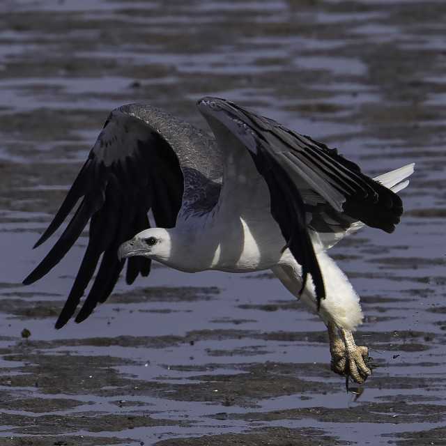 """""""White bellied caught a small prey at low tide"""" stock image"""