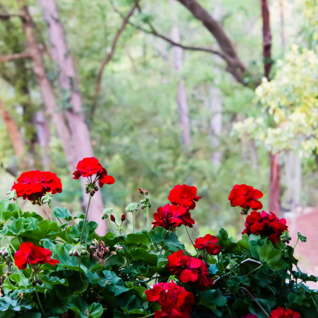 """Red Geraniums With Faded Woods In The Background"" stock image"